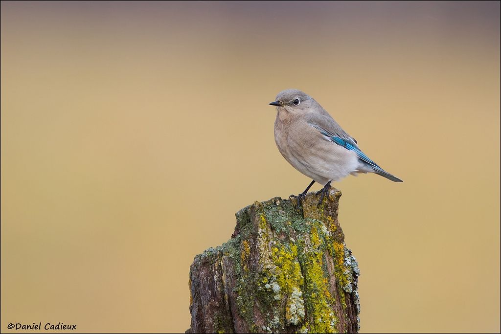 tn_Mountain Bluebird_4384-1.jpg