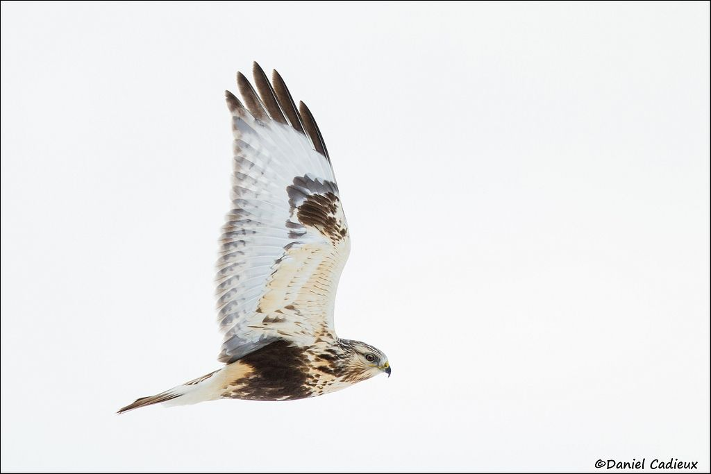 tn_Rough-legged Hawk_7031-1.jpg