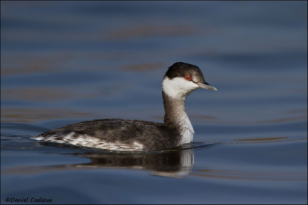 tn_Horned Grebe_1692-1.jpg