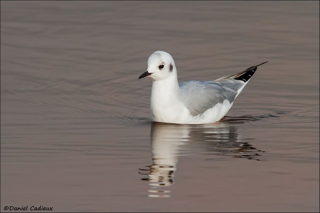 tn_Bonaparte's Gull_5298-1.jpg