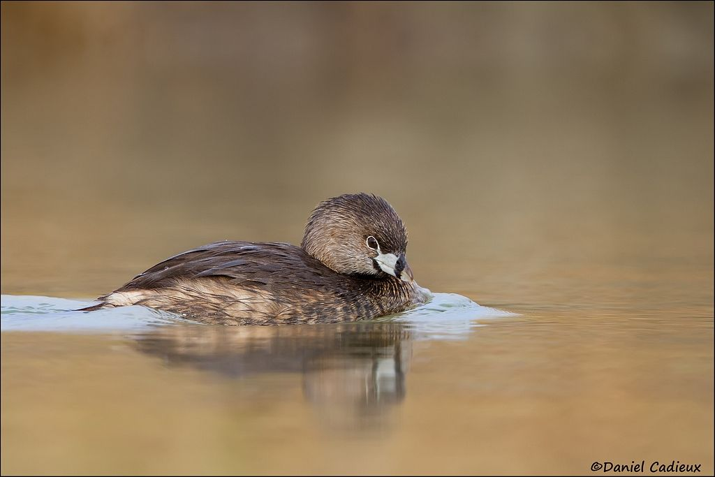 tn_Pied-billed Grebe_4718-1.jpg