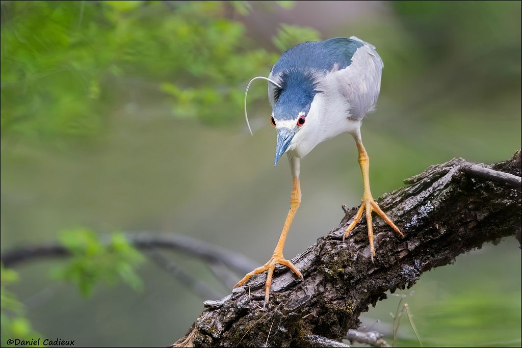 tn_Black-crowned Night-heron_5738-1.jpg