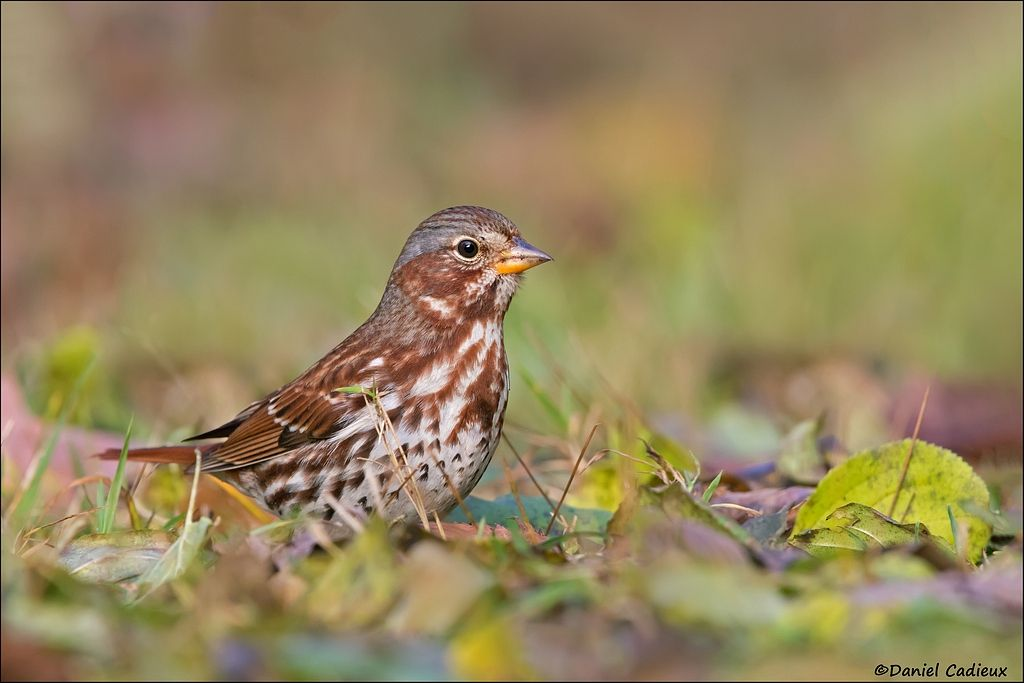 tn_Fox Sparrow_2137-1.jpg