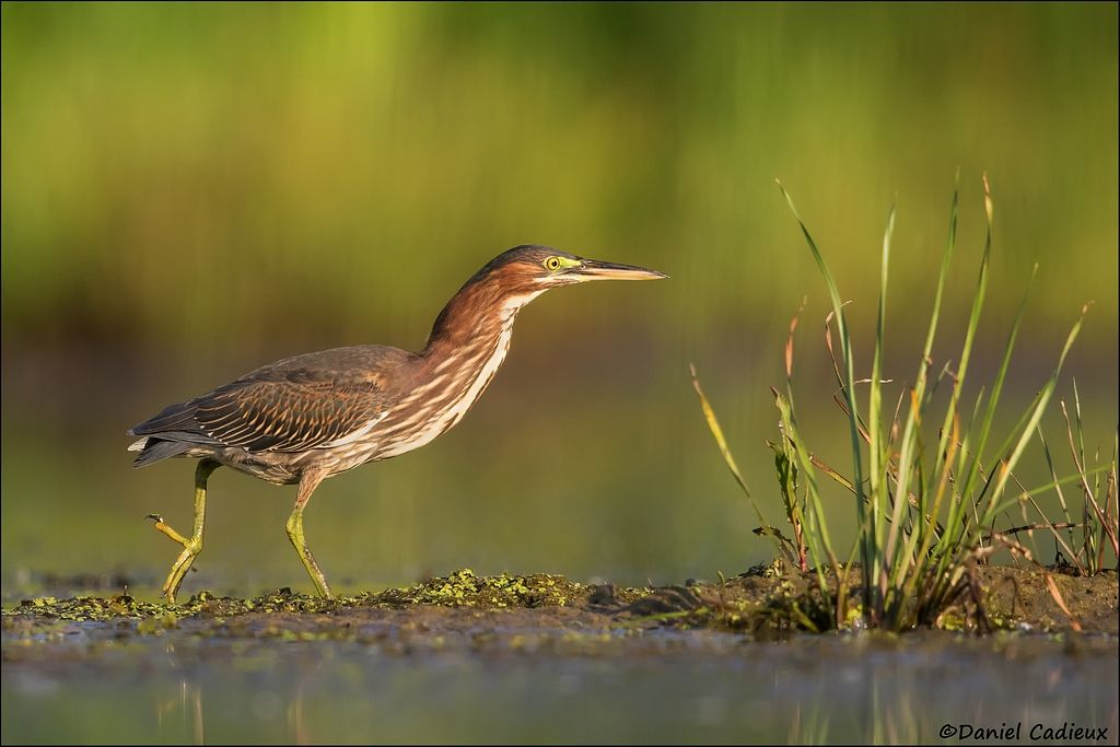 tn_Green Heron_2752-1.jpg