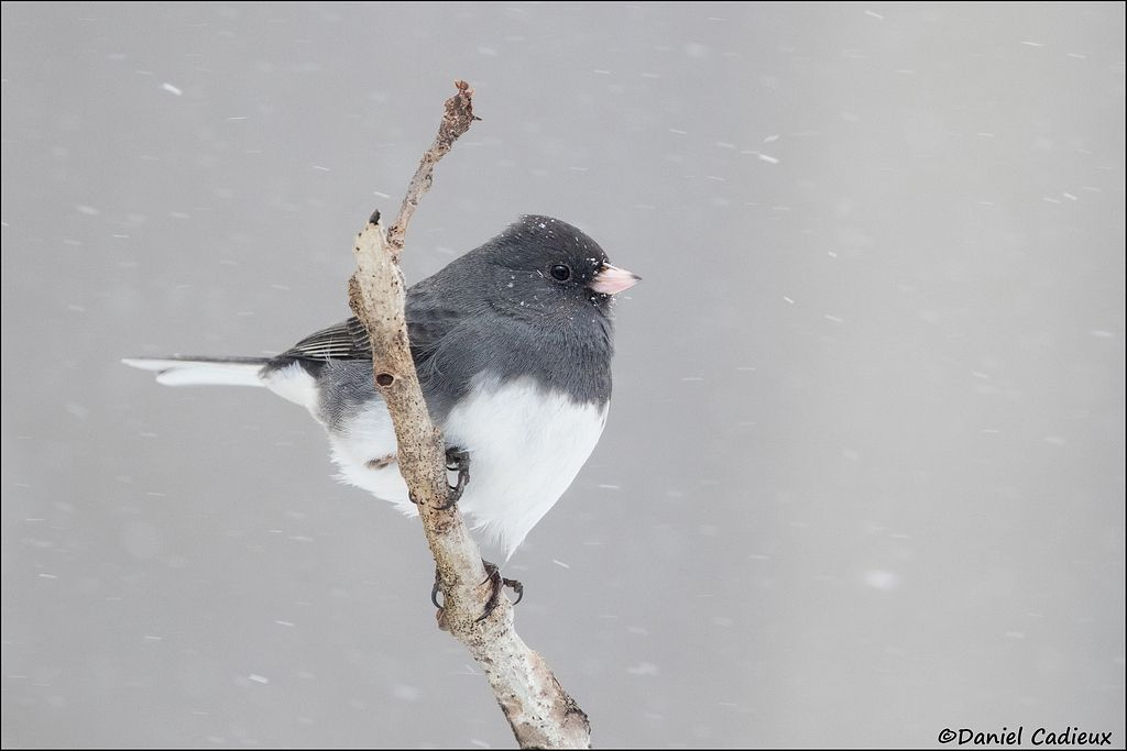 tn_Dark-eyed Junco_6790-1.jpg