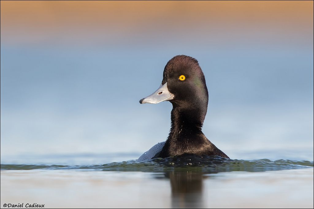 tn_Lesser Scaup_1821-1.jpg