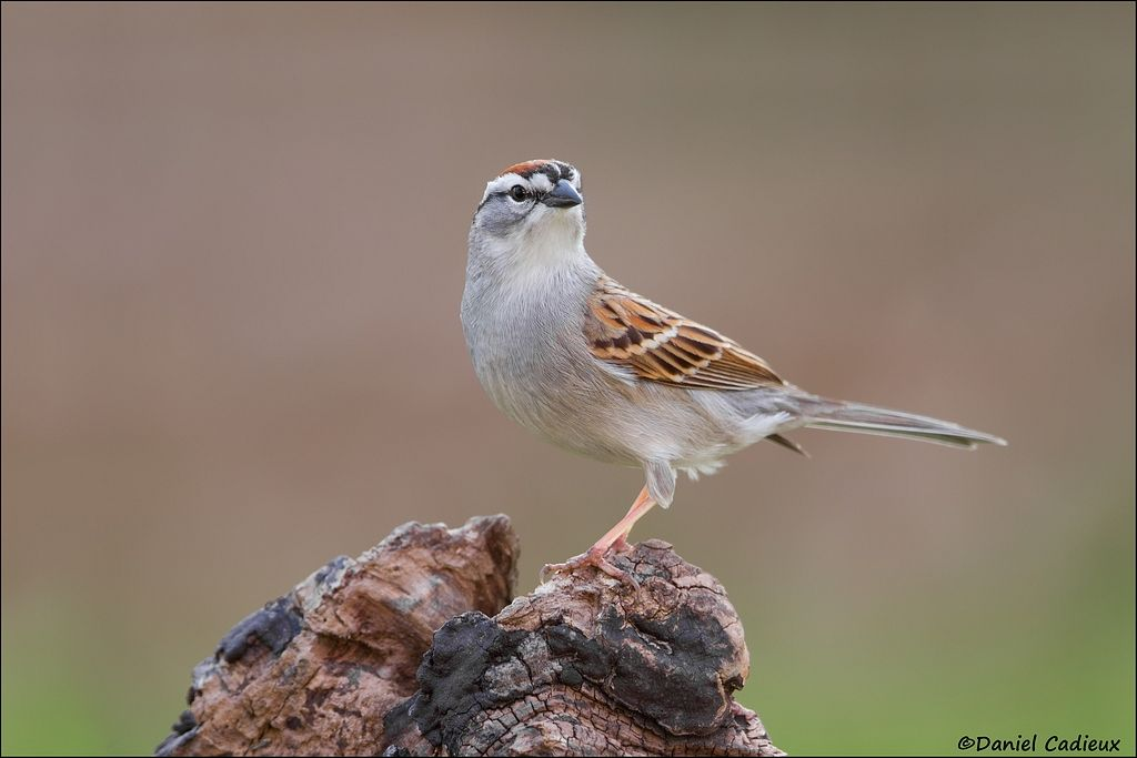tn_Chipping Sparrow_3863-1.jpg