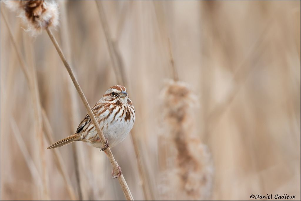 tn_Song Sparrow_0809-1.jpg