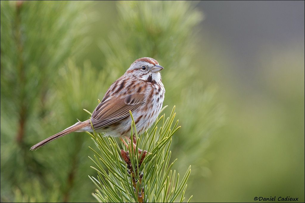 tn_Song Sparrow_4258-1.jpg