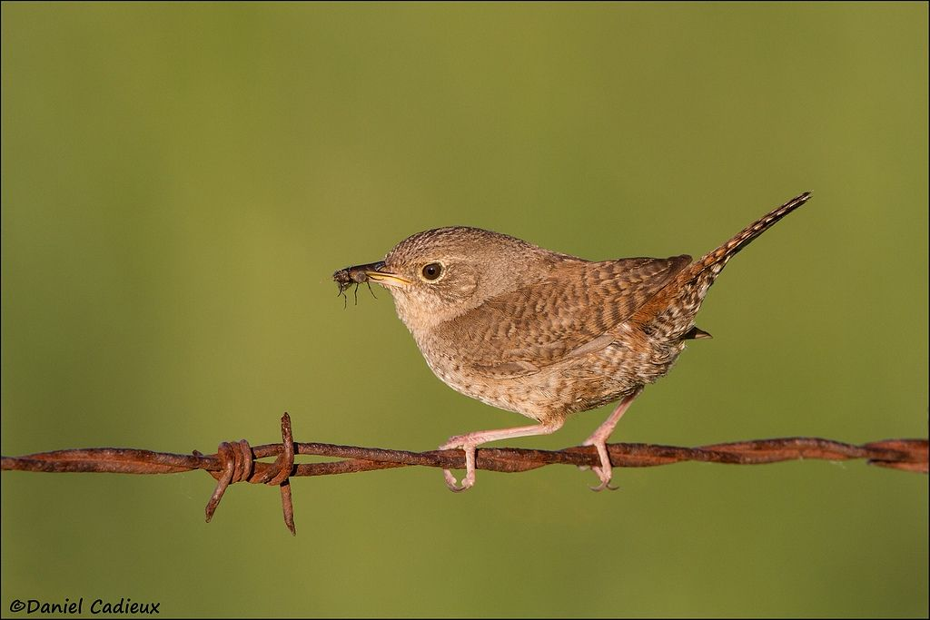 tn_House Wren_0705-1.jpg