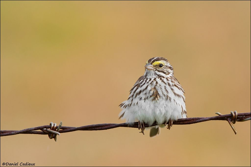 tn_Savannah Sparrow_8266-1.jpg