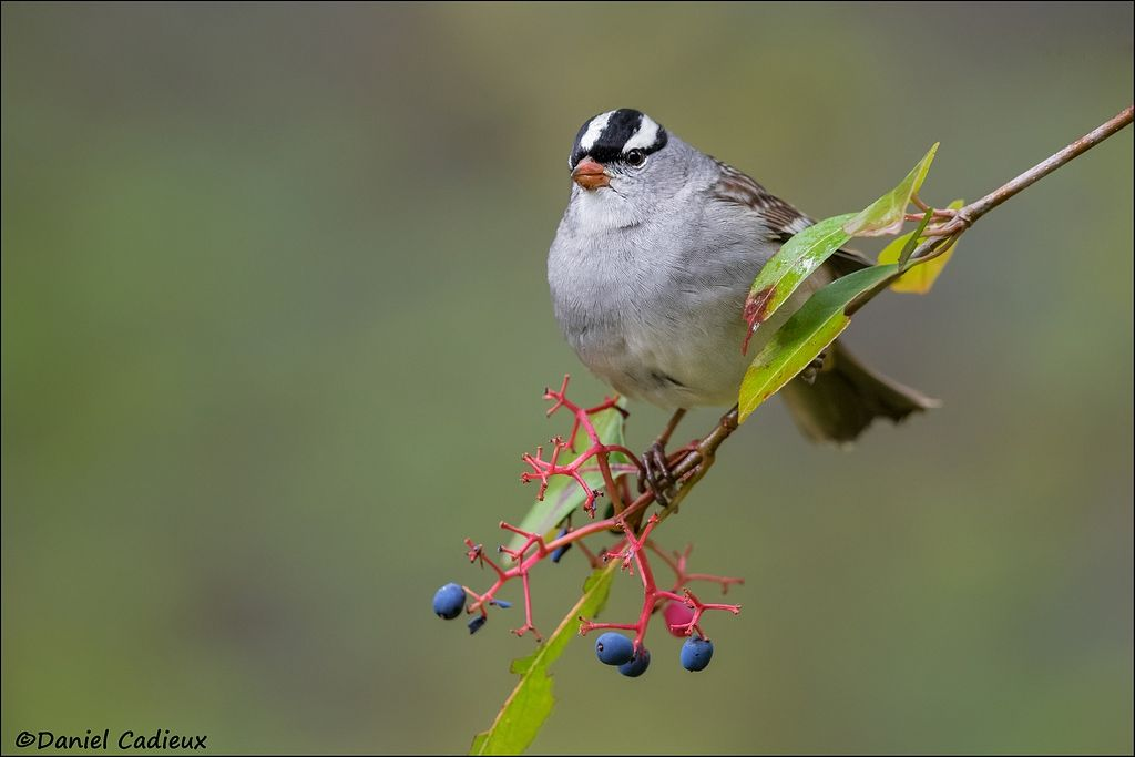 tn_White-crowned Sparrow_9712-1.jpg