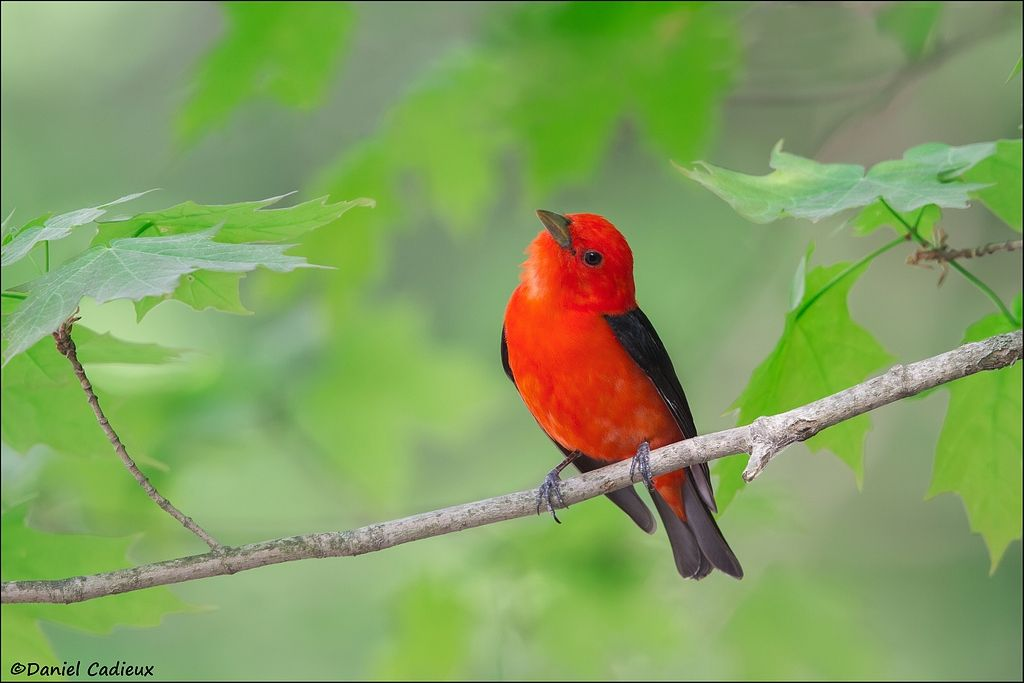 tn_Scarlet Tanager_3759-1.jpg