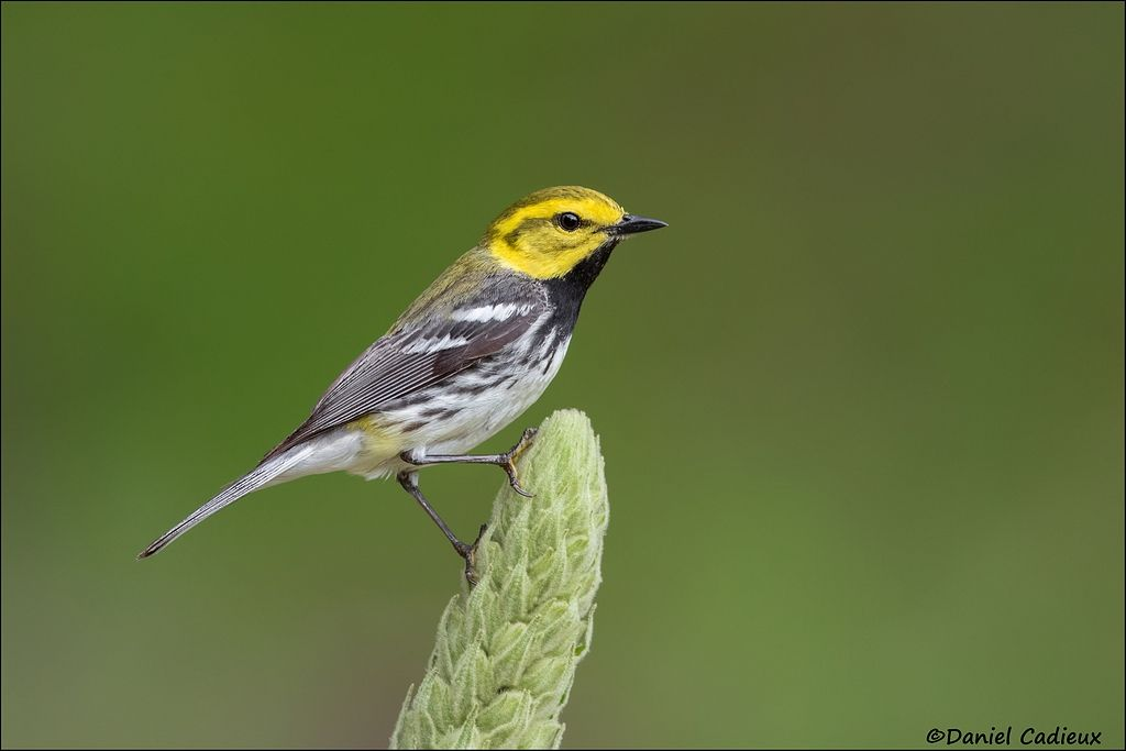 tn_Black-throated Green Warbler_0560-1-c14.jpg