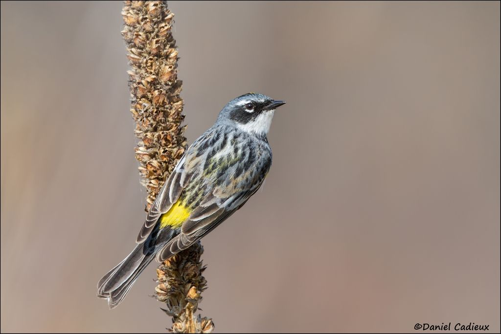 tn_Yellow-rumped Warbler_4124-1.jpg