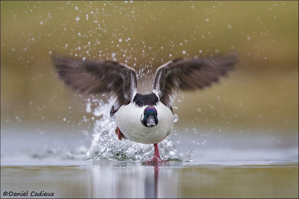 tn_Bufflehead_5049-1.jpg