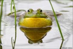 Bullfrog_9897-11