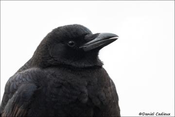 American_Crow_9911-14