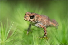 American Toad_6485-17