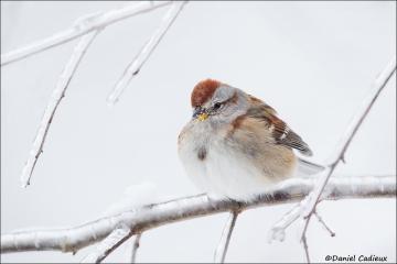American_Tree_Sparrow_2020-15