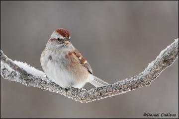 American_Tree_Sparrow_3800-1