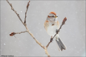 American_Tree_Sparrow_6898-16
