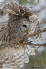 Barred_Owl_2127-17