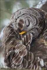 Barred_Owl_2213-17