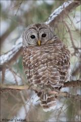 Barred_Owl_2319-17