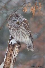 Barred_Owl_5078-15