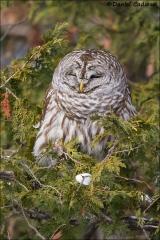Barred_Owl_5310-15