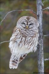 Barred_Owl_5380-15