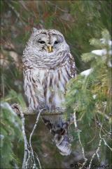 Barred_Owl_7267-15