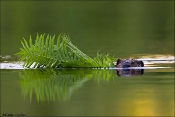 Beaver_0197-15