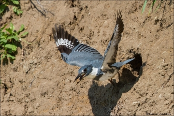 Belted_Kingfisher_4185-14