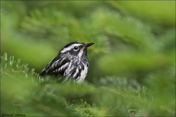 Black-and-white Warbler_4405-18