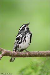 Black-and-white Warbler_4535-18