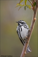 Black-and-white_Warbler_6311-13
