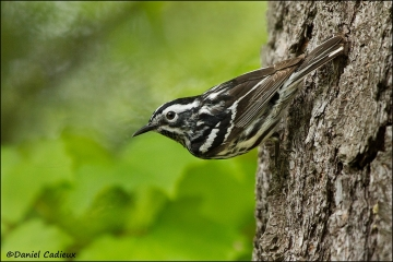 Black-and-white_Warbler_8365-11