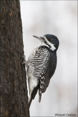 Black-backed_Woodpecker_2917-12