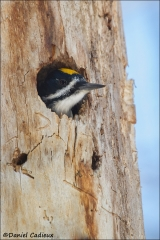 Black-backed_Woodpecker_4094-13