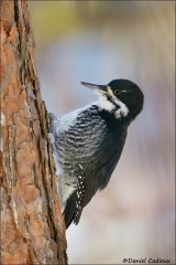 Black-backed_Woodpecker_9291-14