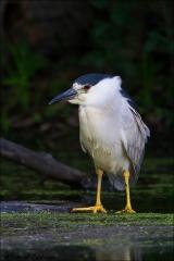 Black-crowned_Night-Heron_2045-15
