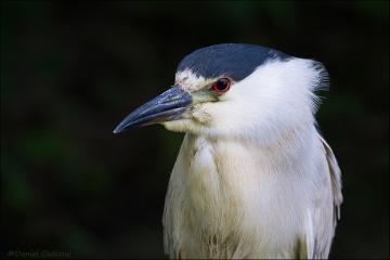Black-crowned_Night-Heron_2131-15