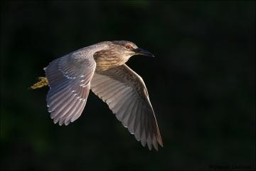 Black-crowned_Night-Heron_2778-17
