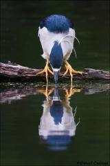 Black-crowned_Night-Heron_7991-15