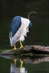 Black-crowned_Night-Heron_8090-15