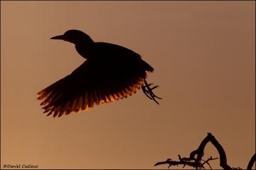Black-crowned_Night-Heron_R1E6772-11