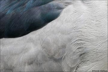Black-crowned_Night-heron_4566-17