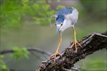 Black-crowned_Night-heron_5738-16
